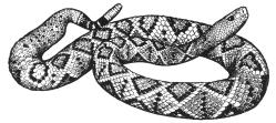 1NL77-B-01-02 Rattlesnake drawing