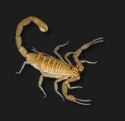 Scorpion in the genus Centuroides