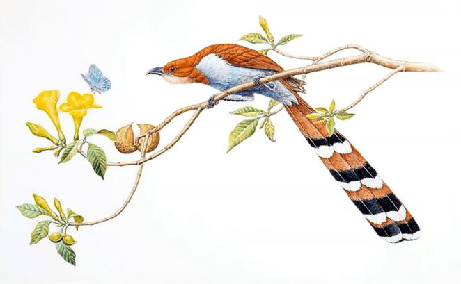 NL85_p166_squirrel_cuckoo-JW-rdcd